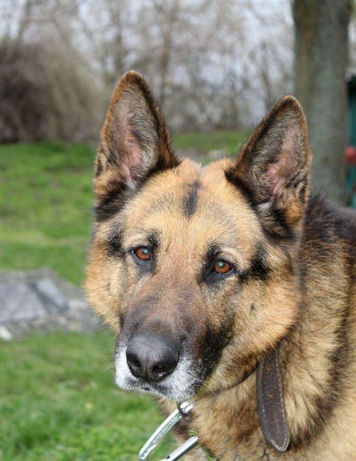 Portrait of a dog - German Shepherd male stock photo