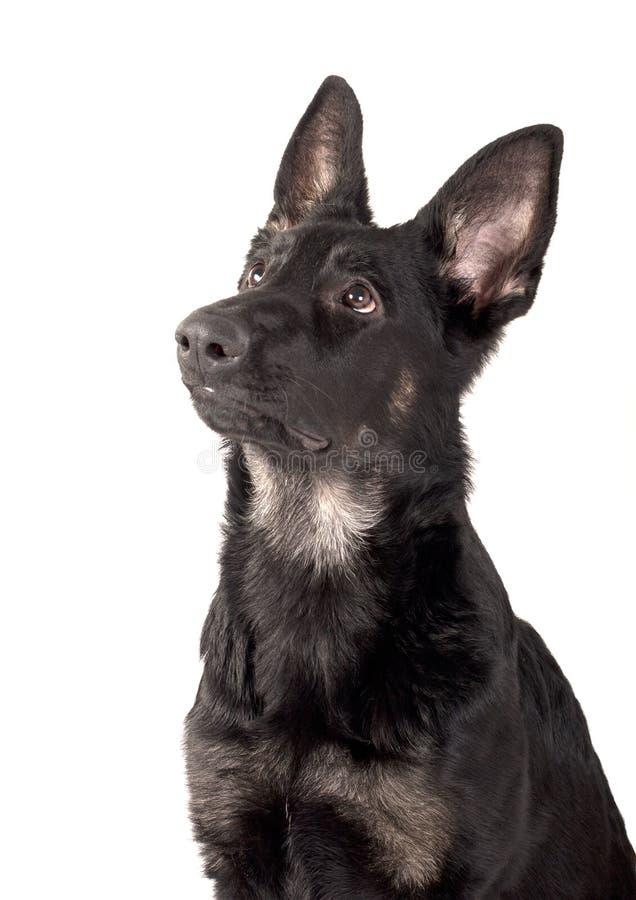 Portrait of a dog, a German Shepherd puppy stock photos