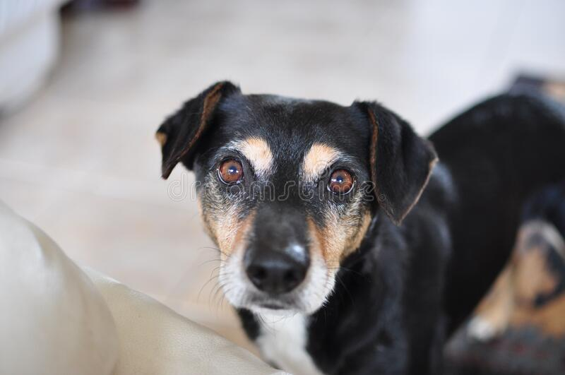 Portrait of dog at home stock photography