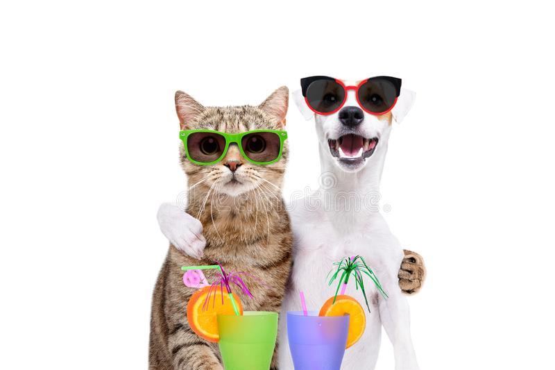 Portrait of a dog Jack Russell Terrier and cat Scottish Straight in sunglasses, hugging each other, holding cocktails in paws royalty free stock photography