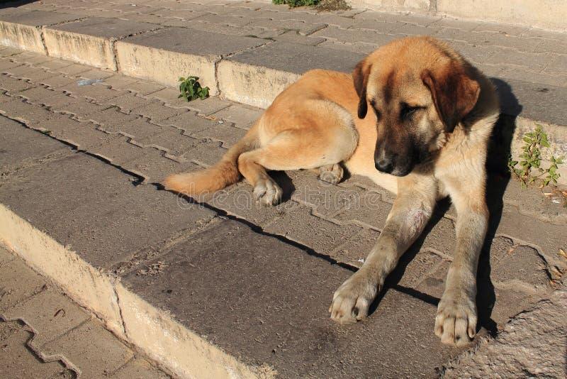 Portrait of dog kangal in sunrise royalty free stock image
