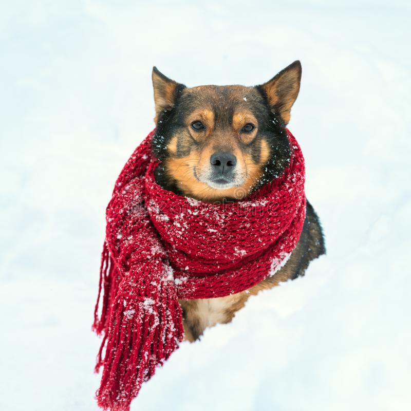 Portrait of a dog with knitted scarf. Tied around the neck walking in blizzard in the forest stock images