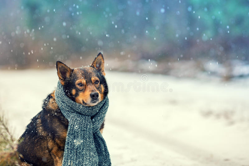 Portrait of a dog with knitted scarf. Tied around the neck walking in blizzard outdoors royalty free stock image