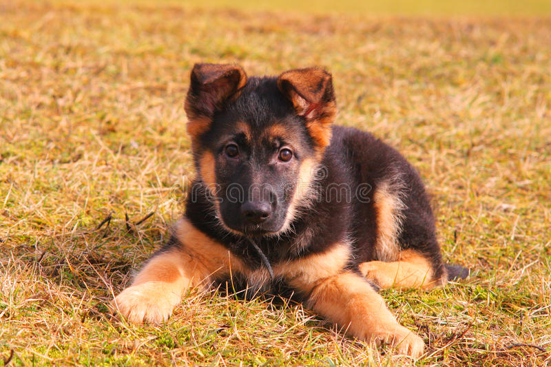 Portrait of a dog laying on the grass stock image
