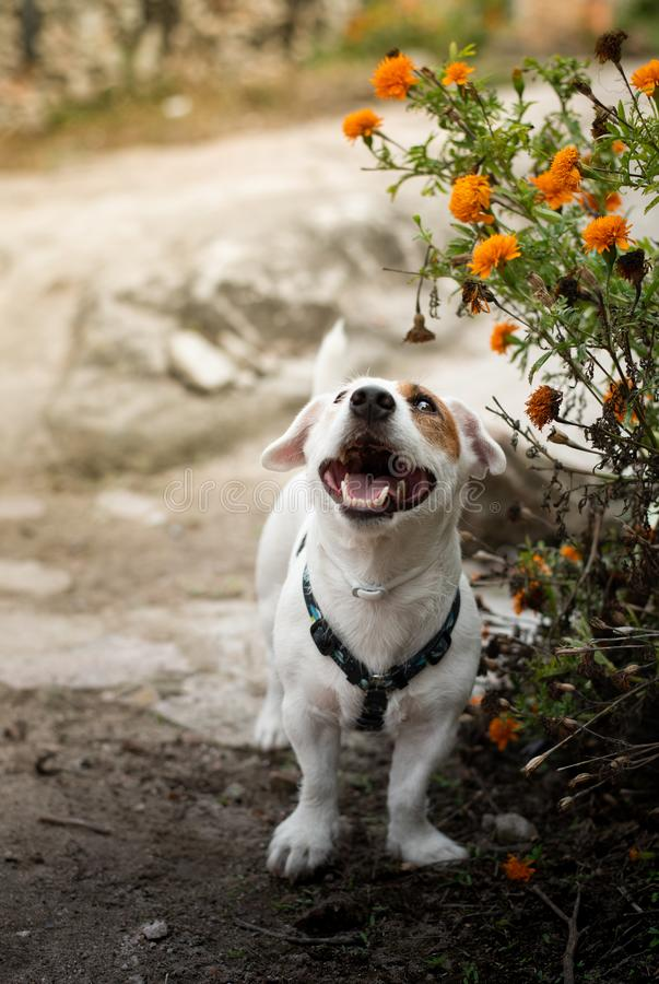 A small dog and orange flowers stock photos