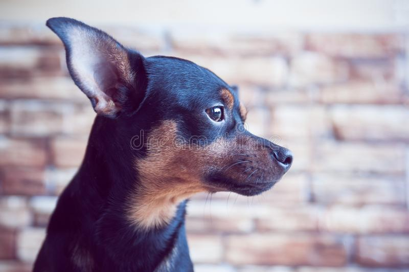 Portrait of a dog in profile against a brick wall background, the dog is waiting for the owner at the window. royalty free stock image