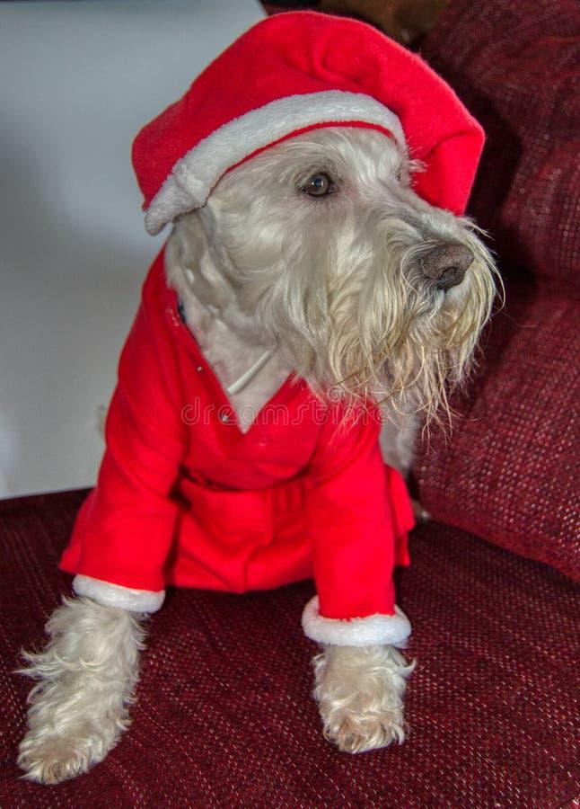 Dog In Santa Costume. Portrait Of Dog In Santa Costume stock images