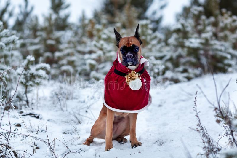 Portrait of dog in Santa costume against background of Christmas trees. royalty free stock images