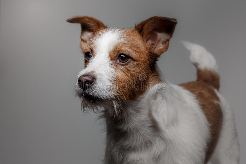 Portrait of a dog in studio, emotion. Dog Jack Russell terrier on a black background in the studio stock photography