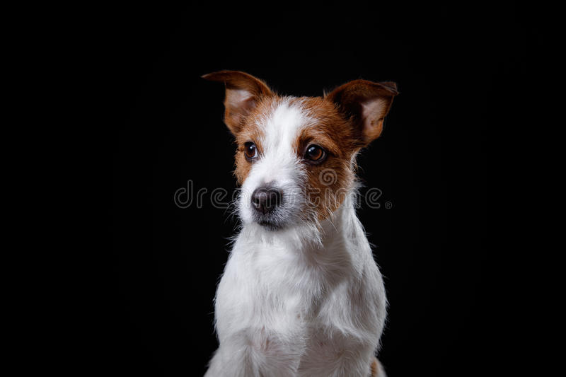 Portrait of a dog in studio, emotion. Dog Jack Russell terrier on a black background in the studio royalty free stock photo