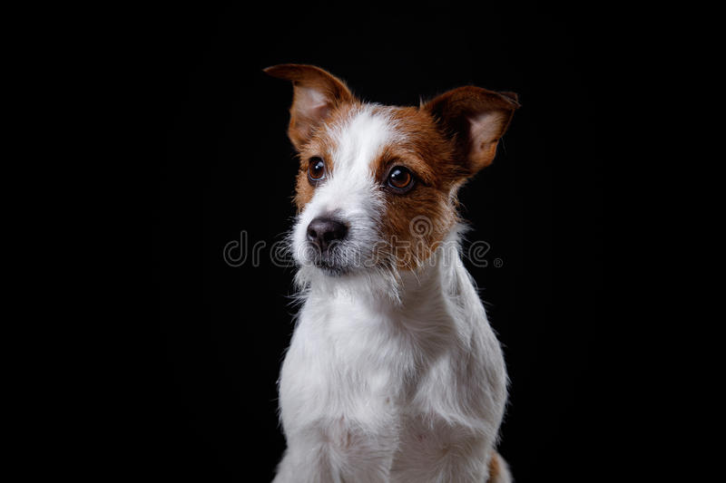 Portrait of a dog in studio, emotion. Dog Jack Russell terrier on a black background in the studio stock image