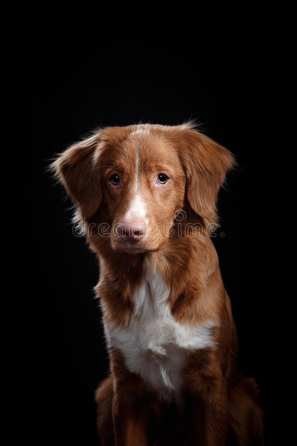 Portrait of a dog in studio, emotion. Nova Scotia Duck Tolling Retriever dog on a black background in the studio royalty free stock photo