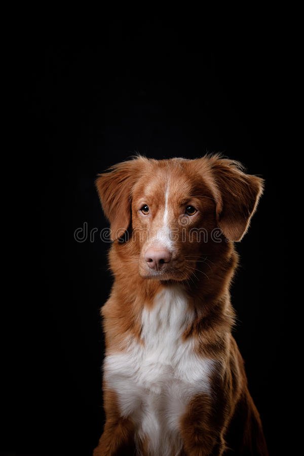 Portrait of a dog in studio, emotion. Nova Scotia Duck Tolling Retriever dog on a black background in the studio stock images