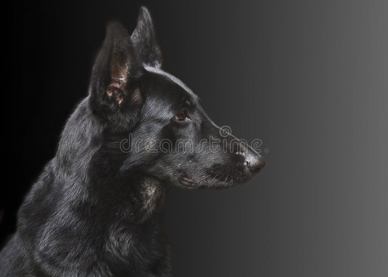 Portrait of a dog, German Shepherd royalty free stock images