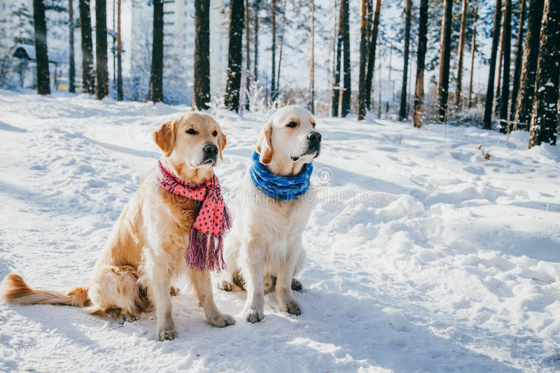 Fantastic Golden Retriever Canine Adorable Dog - portrait-dog-wearing-scarf-outdoors-winter-two-young-golden-retriever-playing-snow-park-dog-clothes-79116026  Snapshot_792346  .jpg