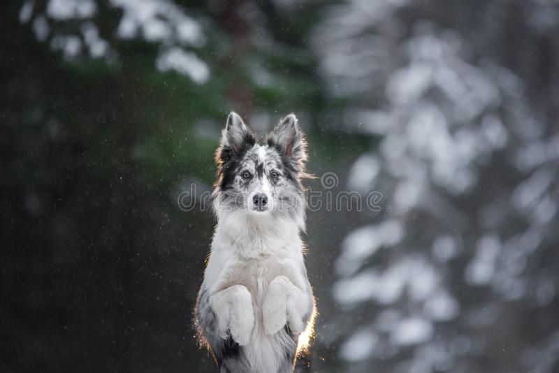 Portrait of a dog in the winter in the forest. obedient marble border collie. Walking with a pet royalty free stock photo