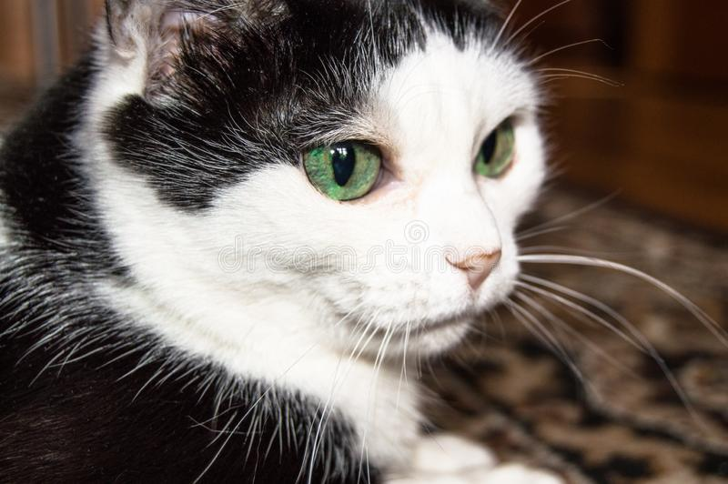 Portrait of a domestic black and white cat with beautiful green eyes, the cat lies and looks closely, close-up.  stock photography