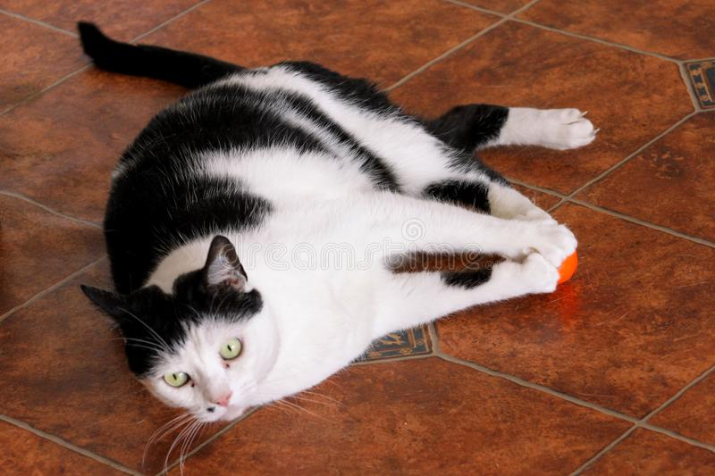 Portrait of domestic black and white cat playing and enjoys with his favorite toy, orange ball for cats at living room of house. royalty free stock photo