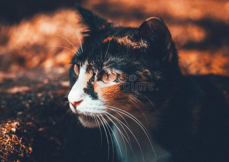 Portrait of domestic cat royalty free stock image