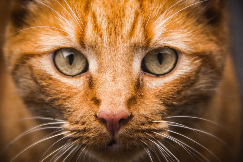 Portrait of domestic cat royalty free stock photo