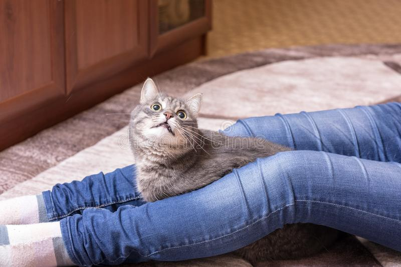 Cat at the feet of the mistress. Portrait of a domestic cat at the feet of the mistress royalty free stock images