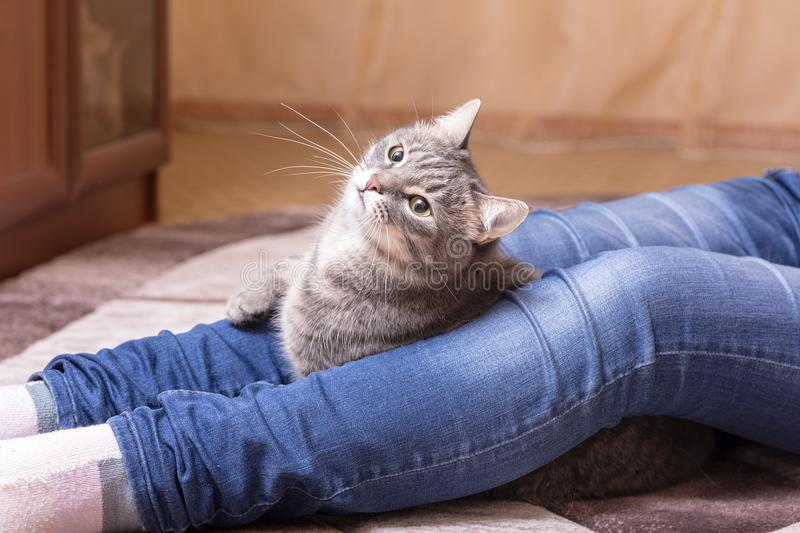 Trap for a cat. Portrait of a domestic cat at the feet of the mistress stock image