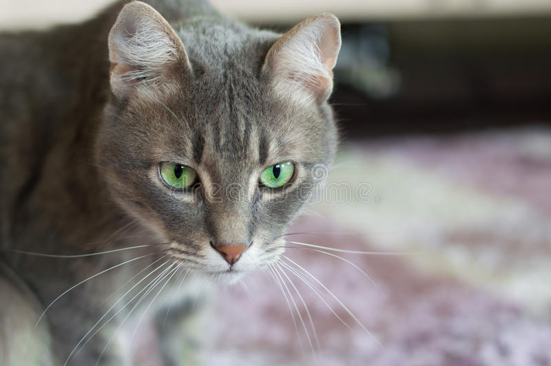 Portrait of a domestic cat with green eyes. Domestic cat with green eyes stock photography