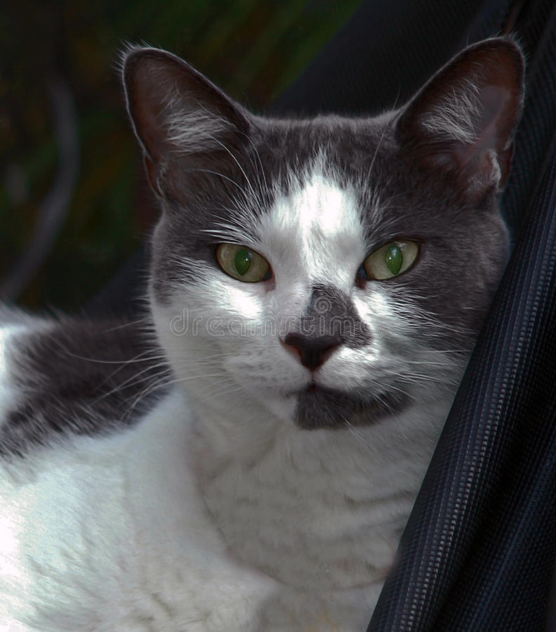 Portrait of a domestic cat. The domestic cat Latin: Felis catus is a small, typically furry, carnivorous mammal. They are often called house cats when kept as stock photo