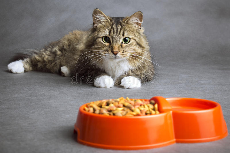 Portrait of a domestic cat looking at the bowl with meal. Portrait of a beautiful fluffy domestic cat that looks with interest at the bowl full of dry food on a royalty free stock photography