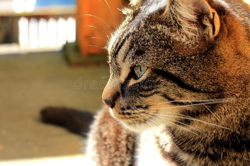 Portrait of domestic cat royalty free stock photos