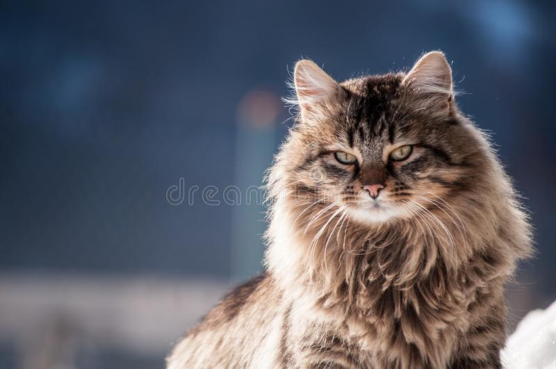 Portrait of a domestic long-haired cat. Close-up portrait of a domestic long-haired cat  on a blue background stock photos