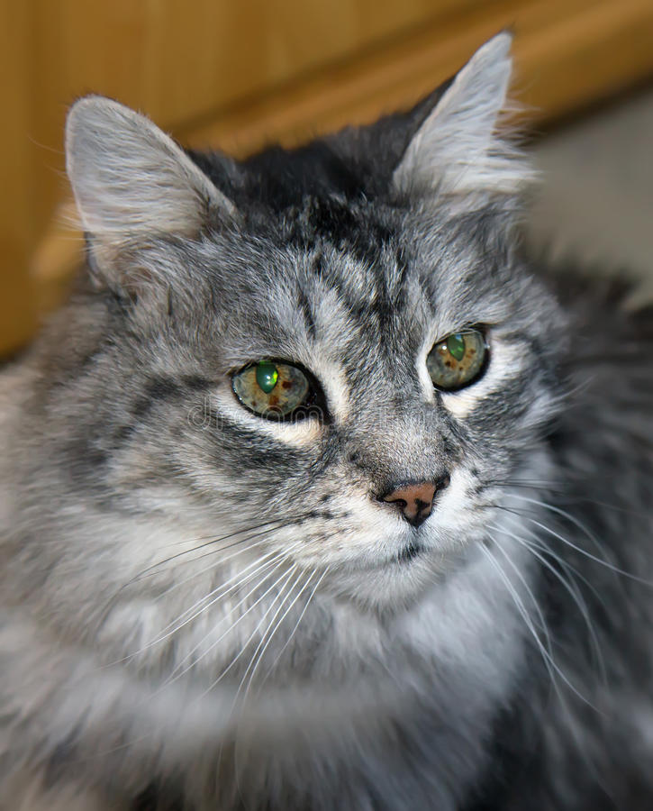 Portrait of domestic long haired cat. Head and shoulders portrait of domestic long haired cat royalty free stock photo