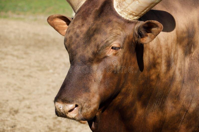 Portrait of domestic male Ankole-Watusi royalty free stock images