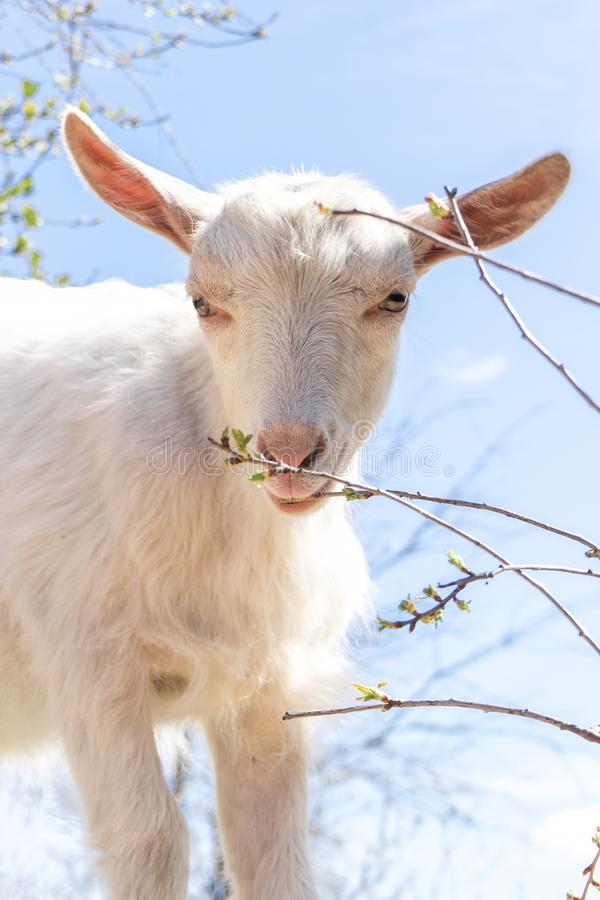 Portrait of Domestic white goat without horns chews young spring shoots of bushes stock images