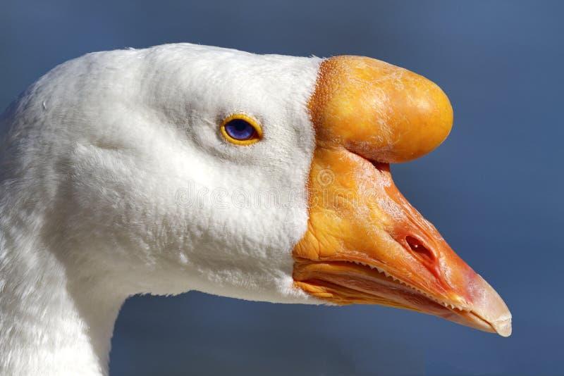 Portrait domestique d'oie de cygne photo libre de droits