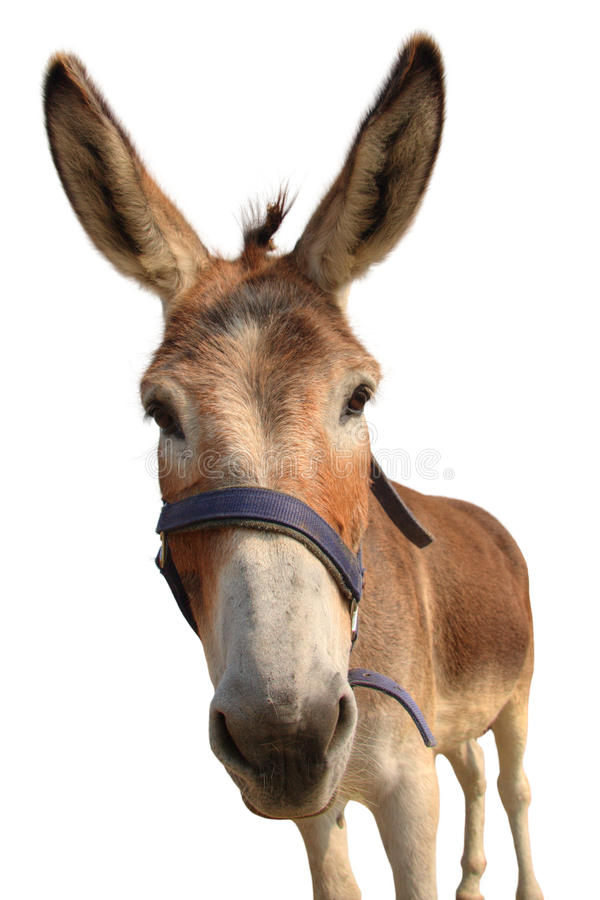 Portrait of a donkey royalty free stock images