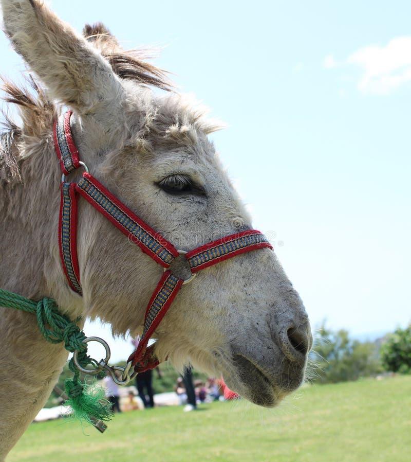 Portrait of a Donkey royalty free stock photo