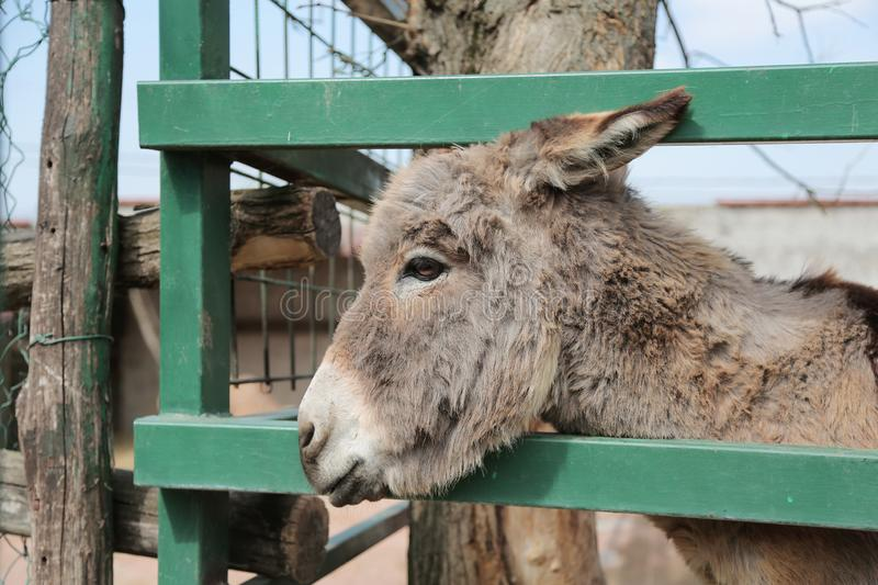 Portrait of a donkey on farm royalty free stock image