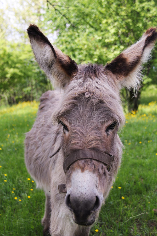 Portrait of the donkey stock photo