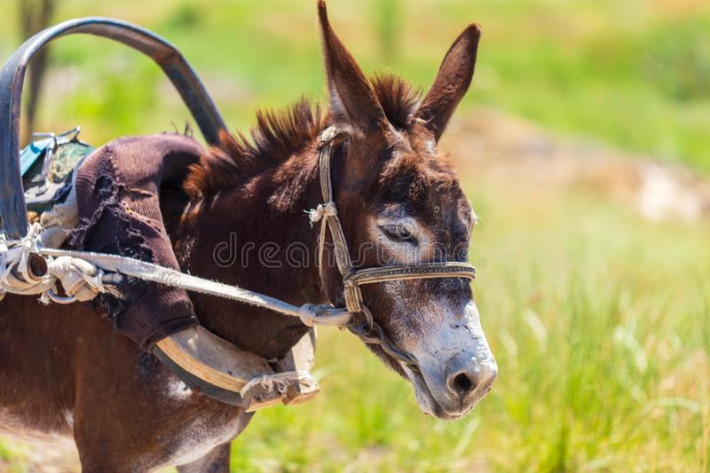 Portrait of a donkey in nature royalty free stock photos