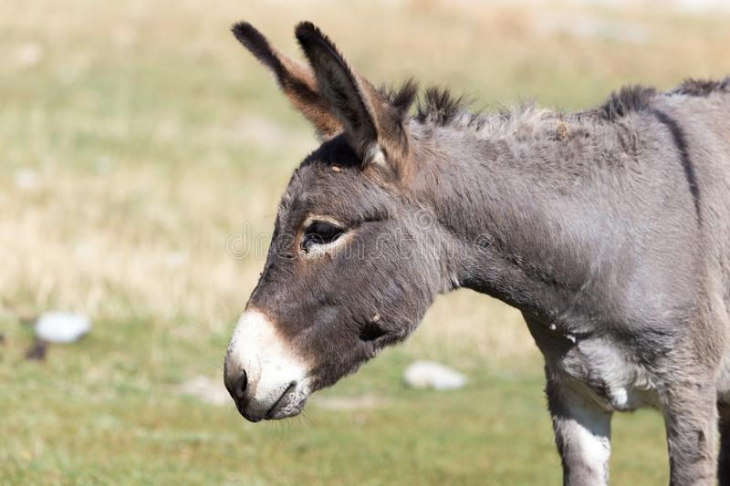 Portrait of a donkey on the nature autumn stock photo