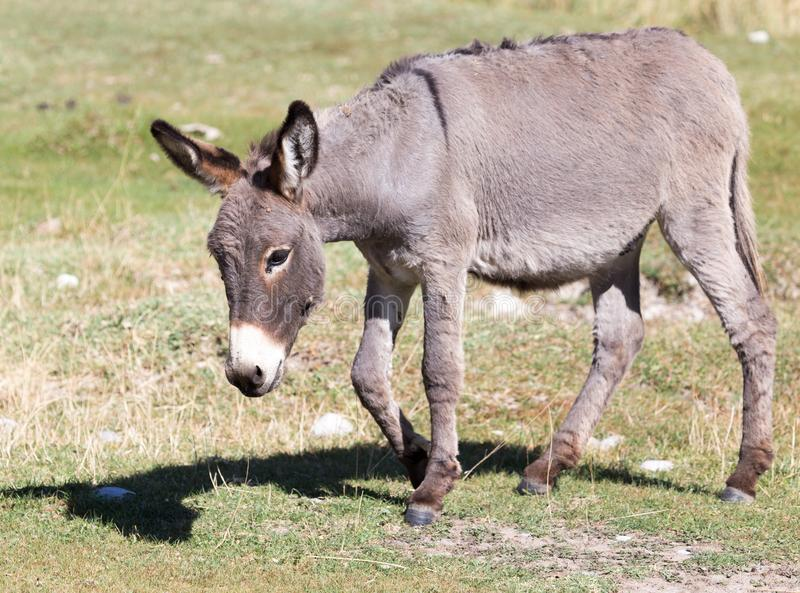 Portrait of a donkey on the nature autumn royalty free stock photography