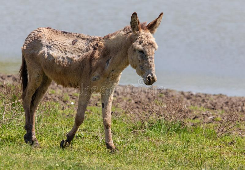 Portrait of a donkey on nature in spring stock photos
