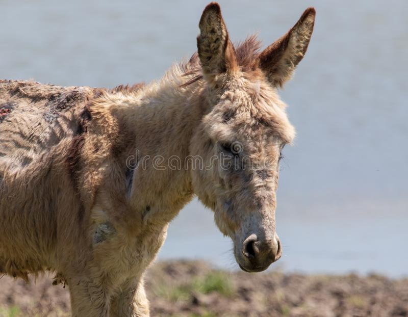Portrait of a donkey on nature in spring royalty free stock photography