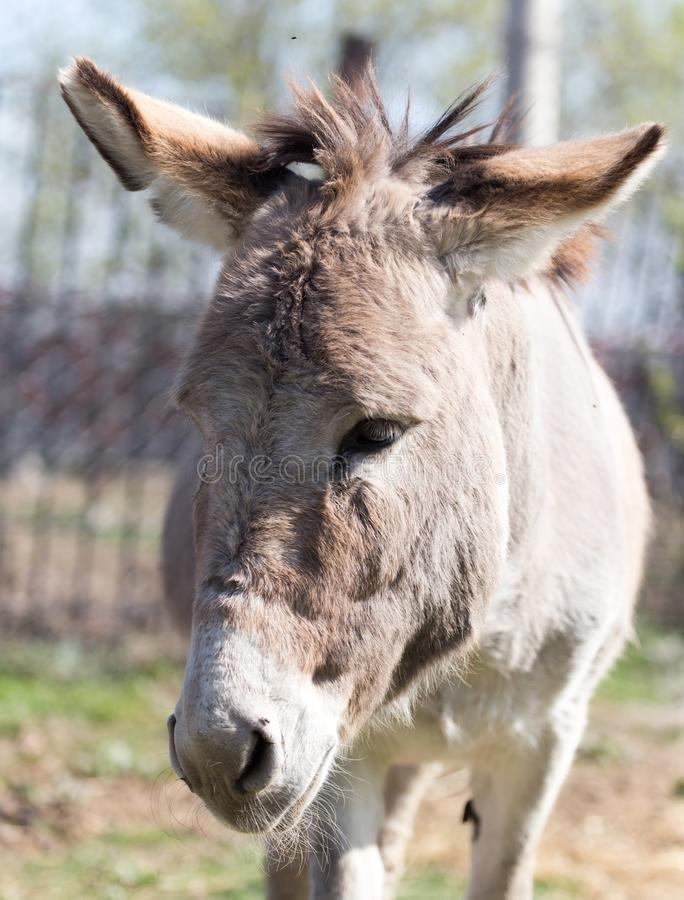 Portrait of a donkey in a park on the nature stock photography
