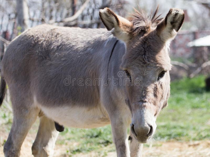 Portrait of a donkey in a park on the nature stock photos