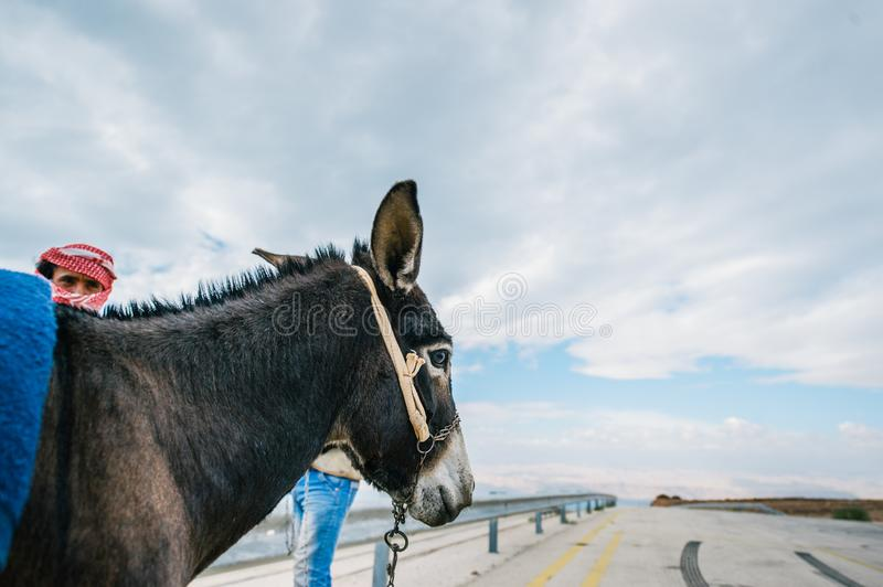 Portrait of donkey in a road. Bedouin men standing near stock images