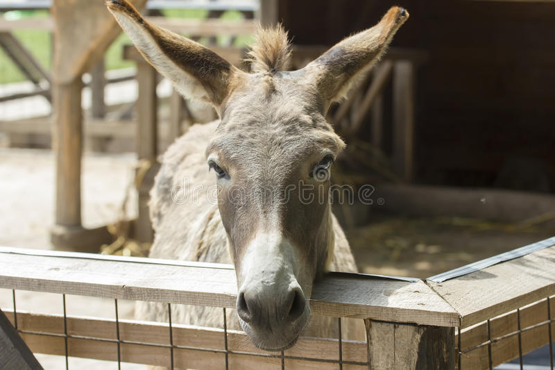 Portrait of donkey. In stable royalty free stock photo