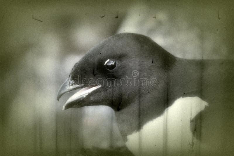 Portrait of dovekey, black and white retro style royalty free stock images
