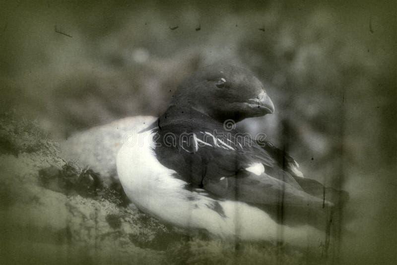 Portrait of dovekey, black and white retro style. Portrait of dovekey (Plautus alle) - one of most Northern of world's birds, black and white retro style. Such royalty free stock photo